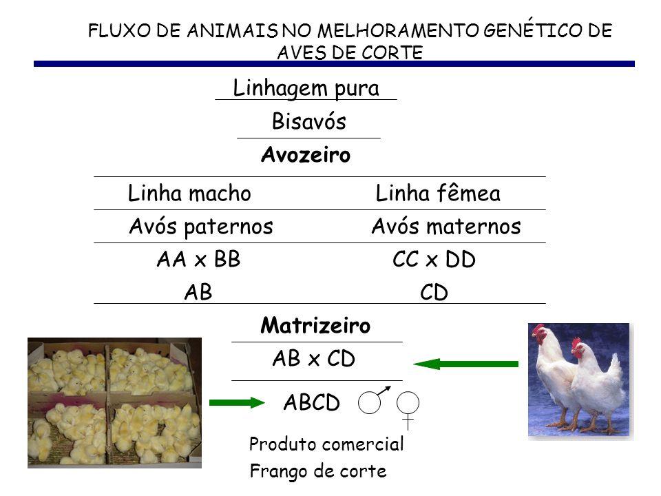 FLUXO DE ANIMAIS NO MELHORAMENTO GENÉTICO DE AVES DE CORTE