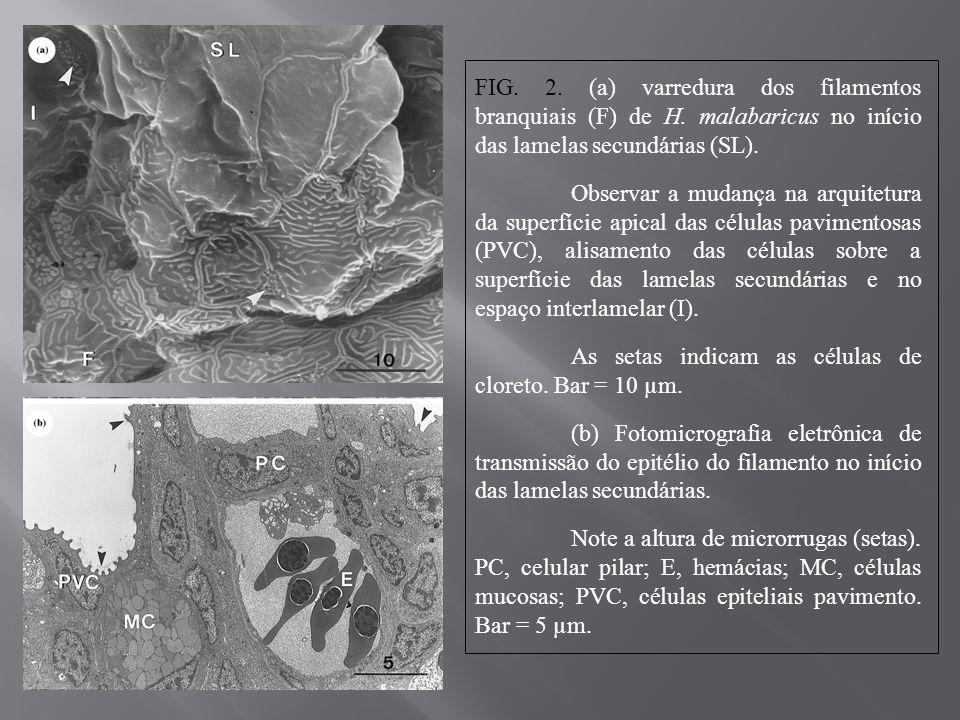 FIG. 2. (a) varredura dos filamentos branquiais (F) de H