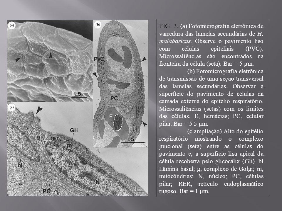 FIG. 3. (a) Fotomicrografia eletrônica de varredura das lamelas secundárias de H. malabaricus. Observe o pavimento liso com células epiteliais (PVC). Microssaliências são encontrados na fronteira da célula (seta). Bar = 5 µm.