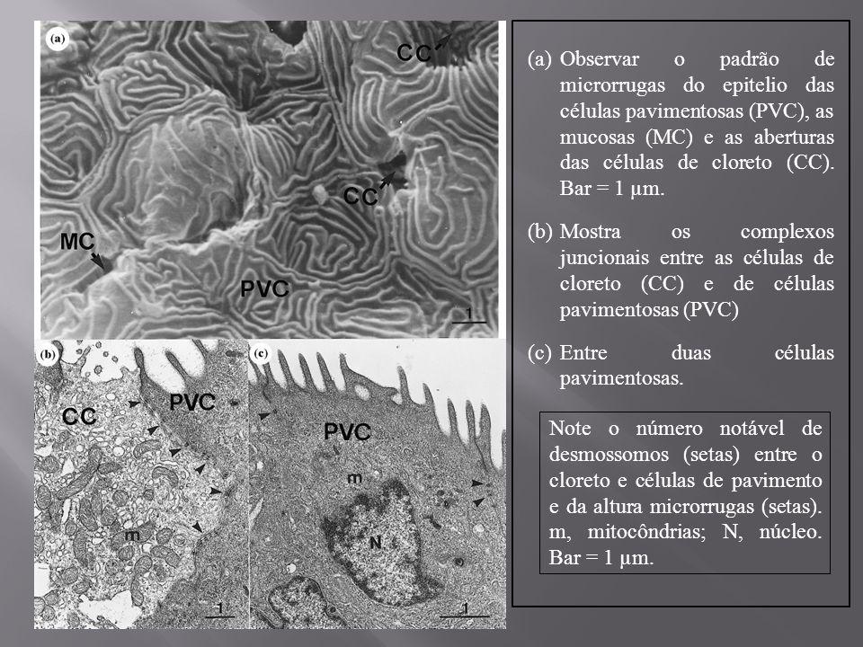 Observar o padrão de microrrugas do epitelio das células pavimentosas (PVC), as mucosas (MC) e as aberturas das células de cloreto (CC). Bar = 1 µm.