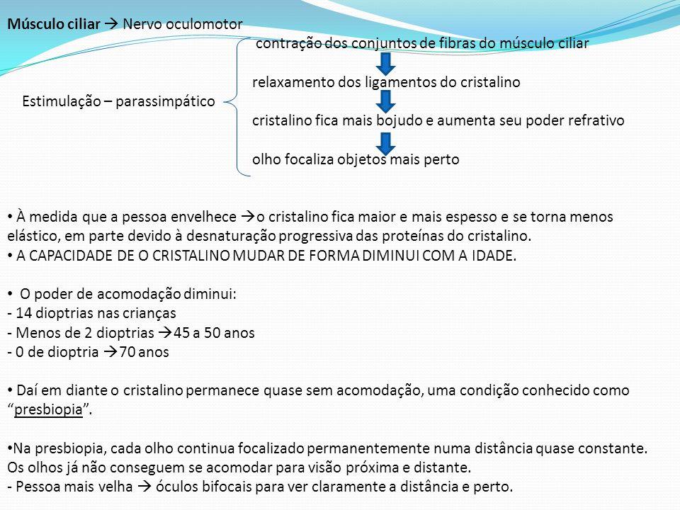 Músculo ciliar  Nervo oculomotor