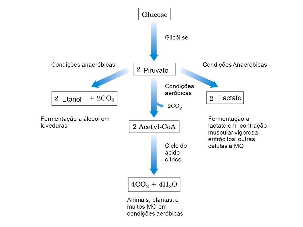 Piruvato Lactato Etanol Glicólise Condições anaeróbicas