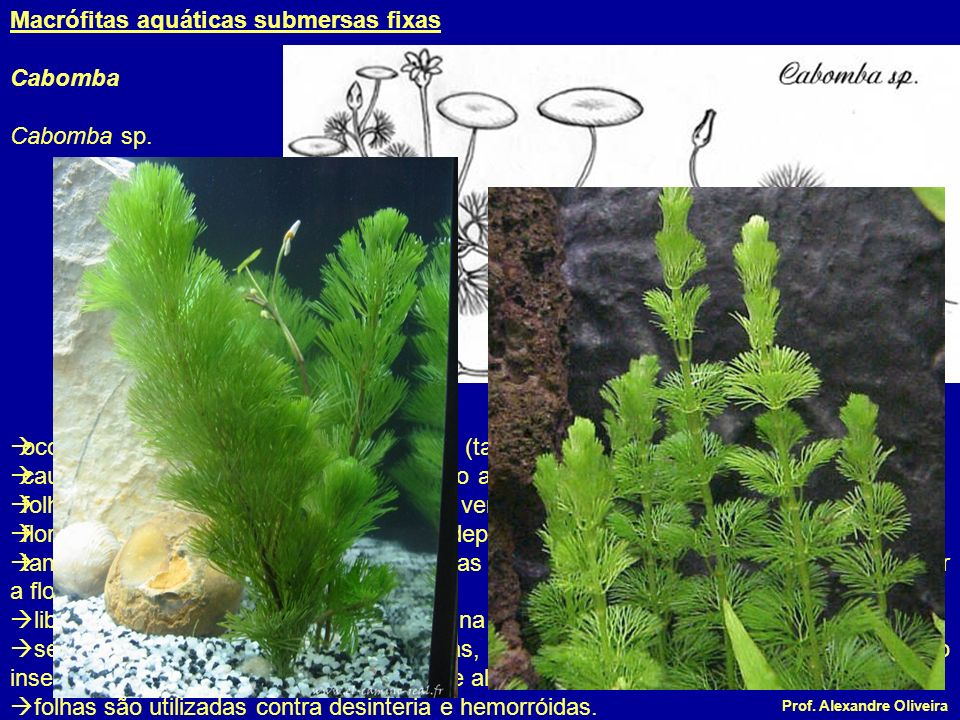 Macrófitas aquáticas submersas fixas