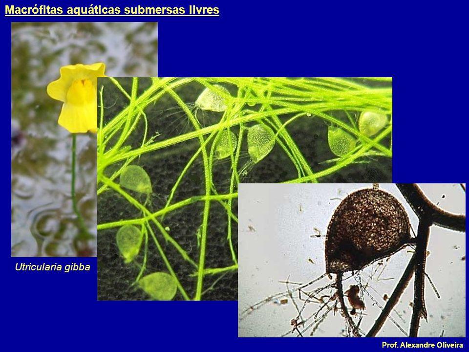 Macrófitas aquáticas submersas livres