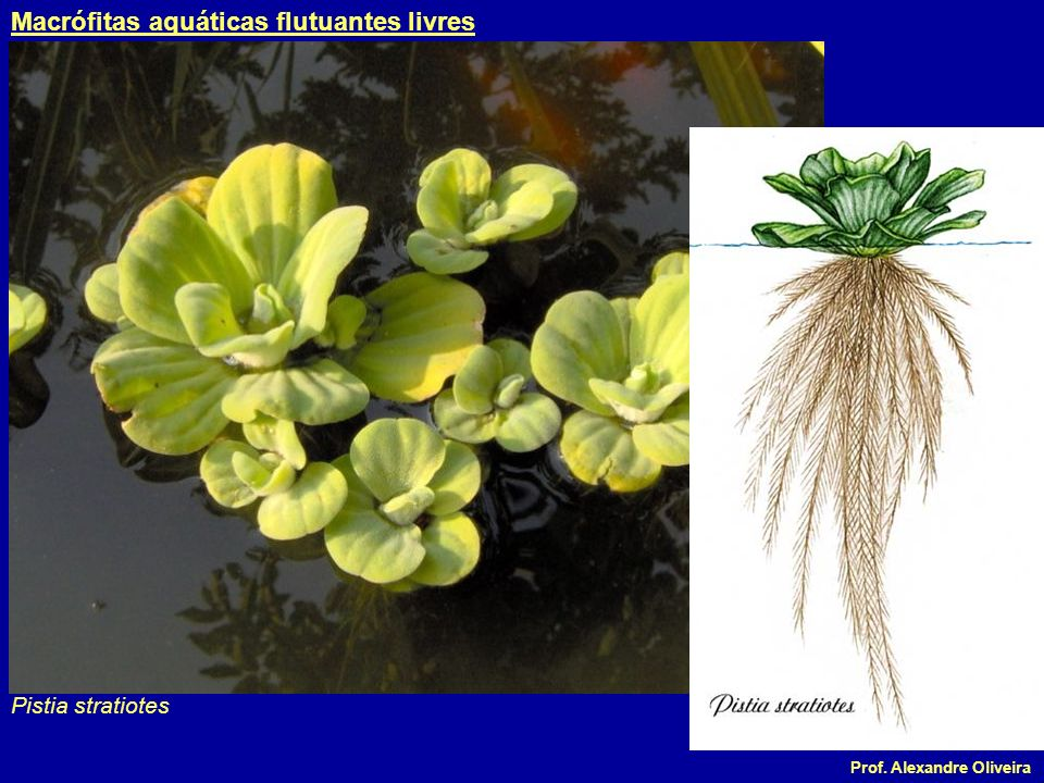 Macrófitas aquáticas flutuantes livres
