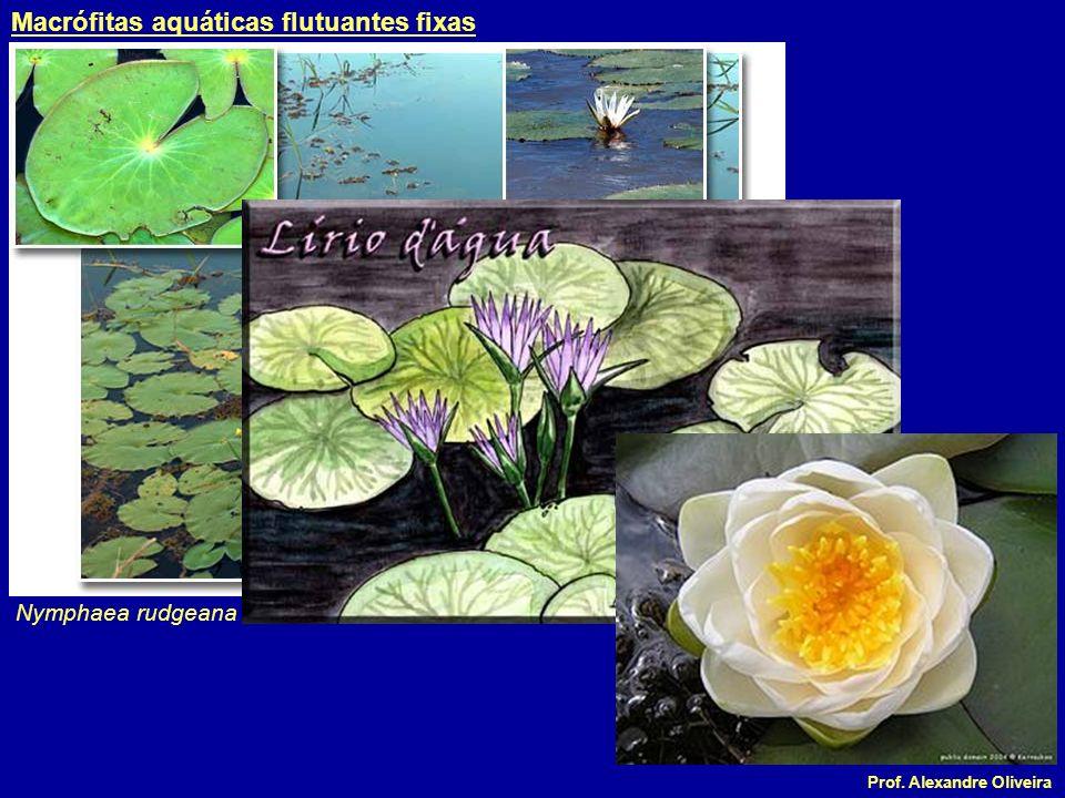Macrófitas aquáticas flutuantes fixas