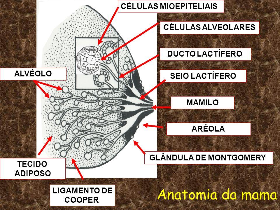 Anatomia da mama CÉLULAS MIOEPITELIAIS CÉLULAS ALVEOLARES