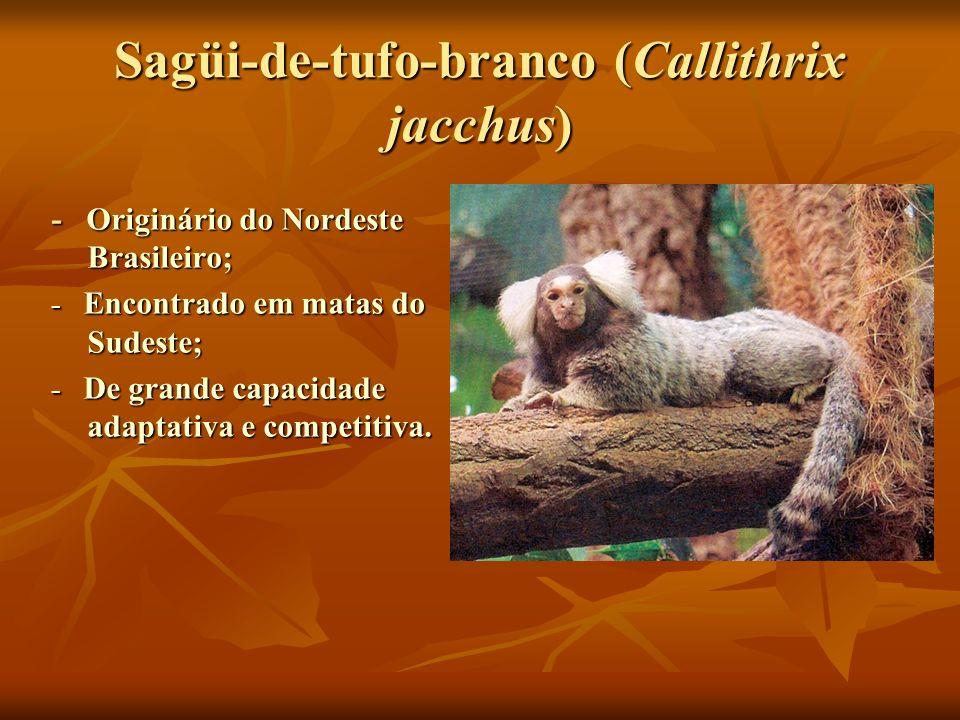 Sagüi-de-tufo-branco (Callithrix jacchus)