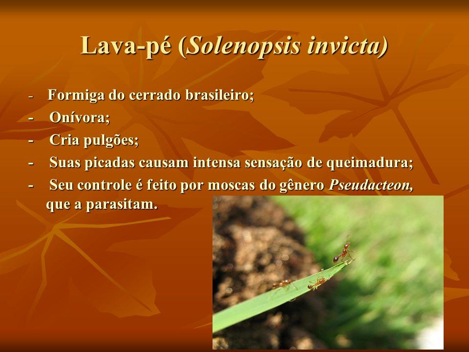 Lava-pé (Solenopsis invicta)