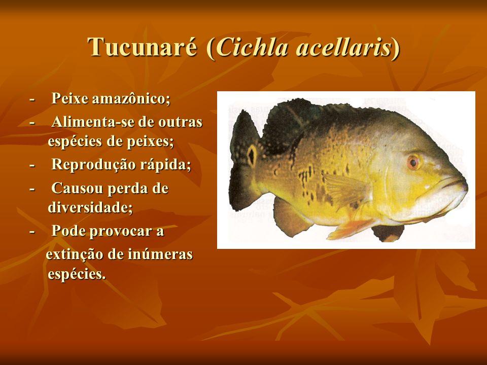 Tucunaré (Cichla acellaris)