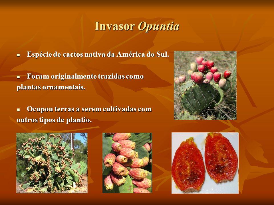 Invasor Opuntia Espécie de cactos nativa da América do Sul.