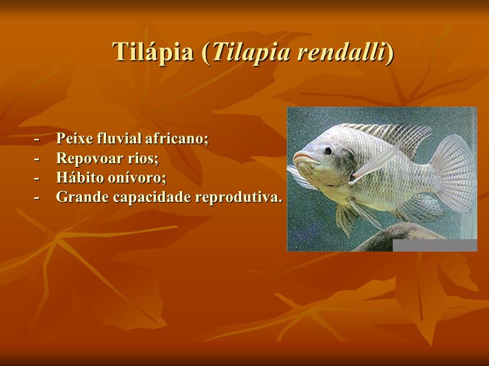 Tilápia (Tilapia rendalli)
