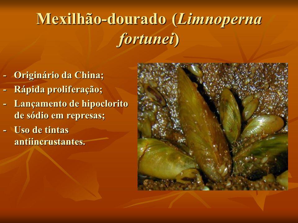 Mexilhão-dourado (Limnoperna fortunei)