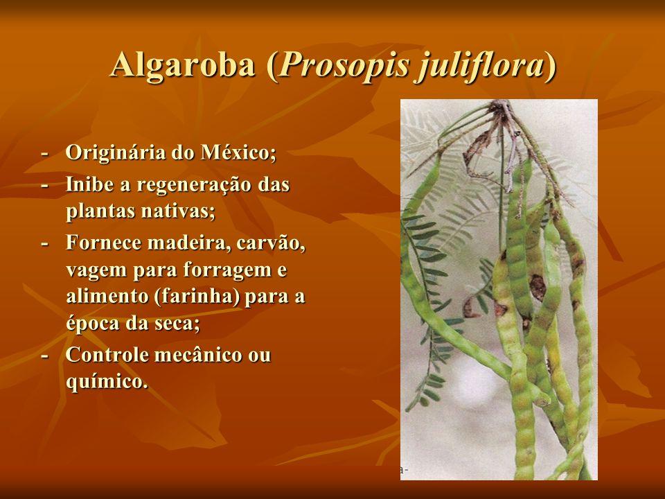 Algaroba (Prosopis juliflora)