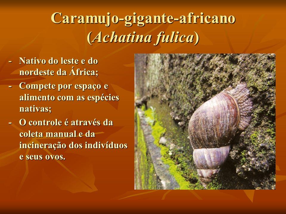 Caramujo-gigante-africano (Achatina fulica)