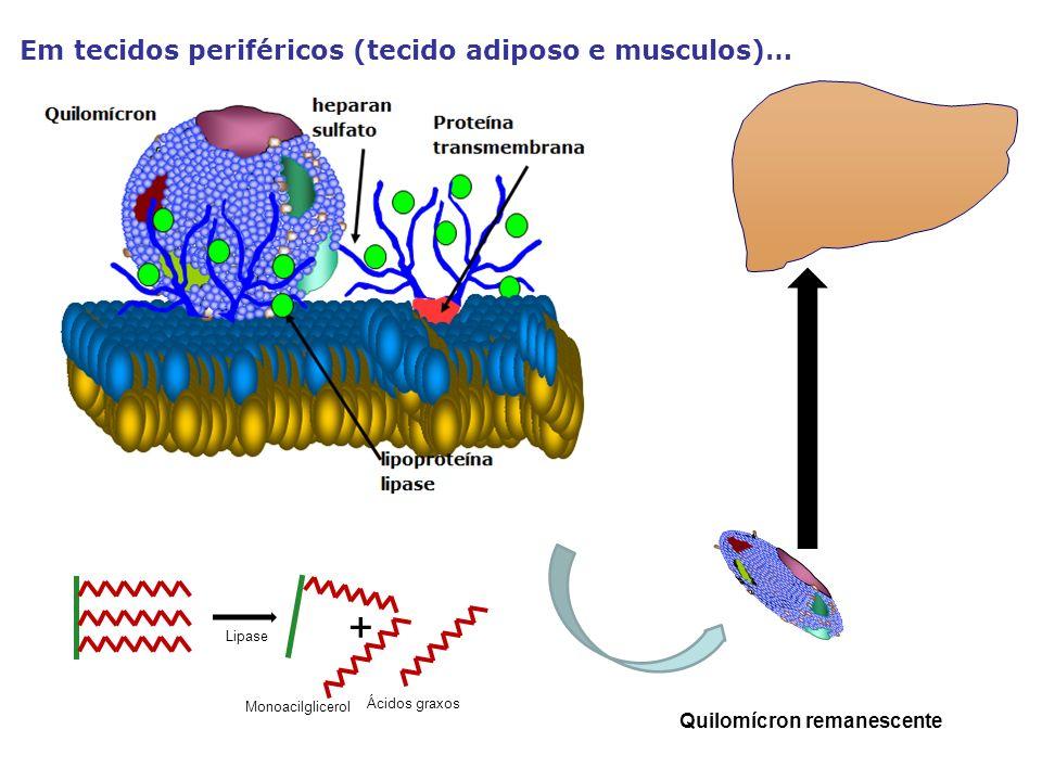 + Em tecidos periféricos (tecido adiposo e musculos)…