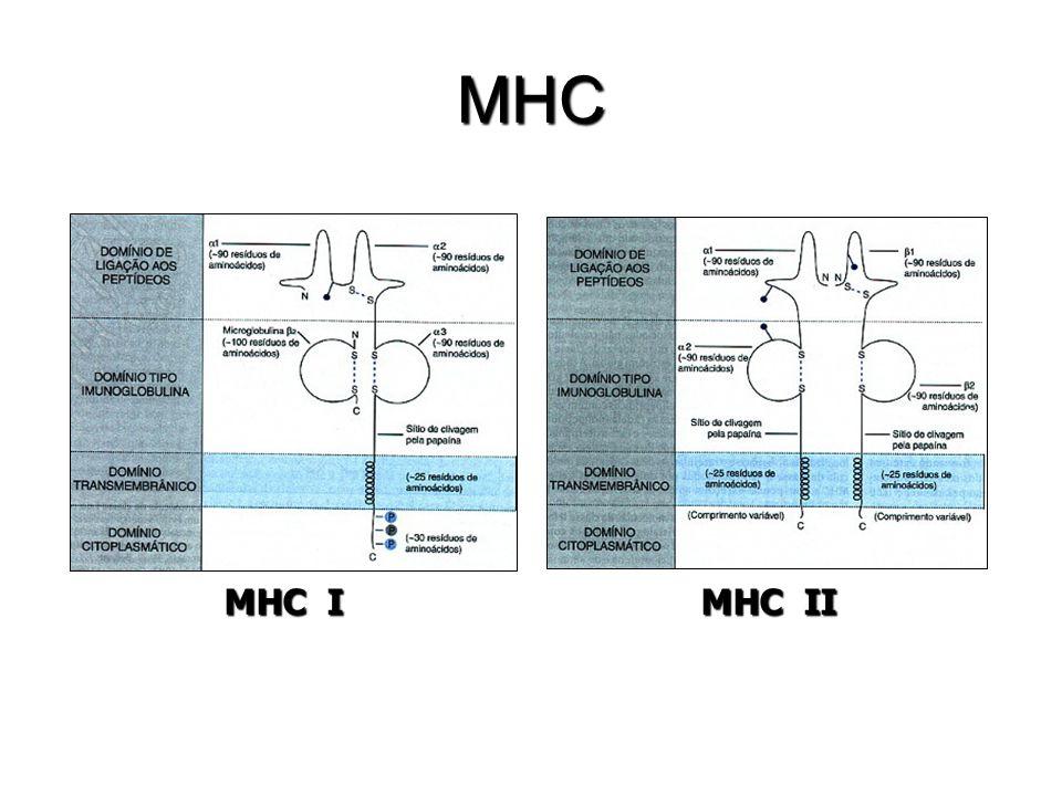 MHC MHC I MHC II 13
