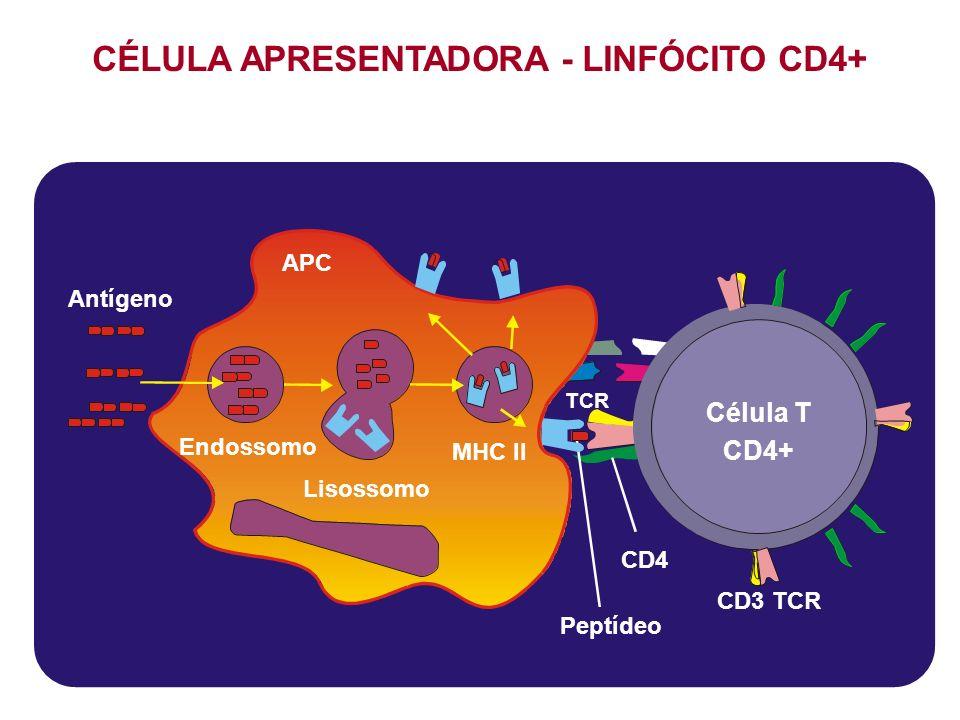 CÉLULA APRESENTADORA - LINFÓCITO CD4+