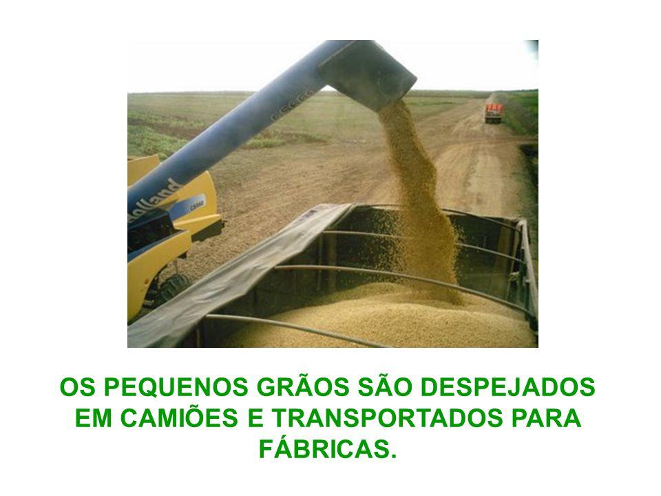 OS PEQUENOS GRÃOS SÃO DESPEJADOS EM CAMIÕES E TRANSPORTADOS PARA FÁBRICAS.