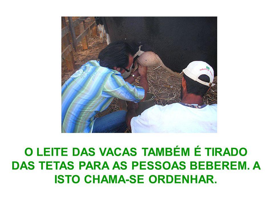 O LEITE DAS VACAS TAMBÉM É TIRADO DAS TETAS PARA AS PESSOAS BEBEREM