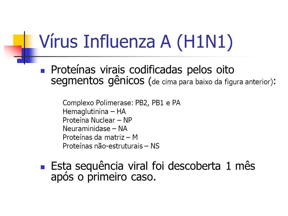 Vírus Influenza A (H1N1) Proteínas virais codificadas pelos oito segmentos gênicos (de cima para baixo da figura anterior):