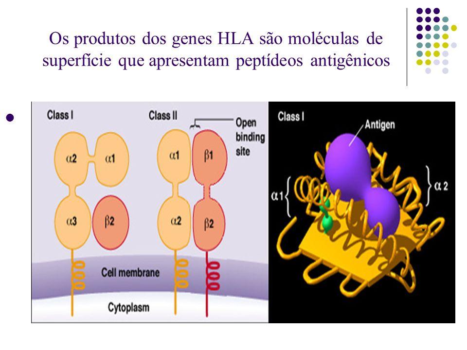 Os produtos dos genes HLA são moléculas de superfície que apresentam peptídeos antigênicos