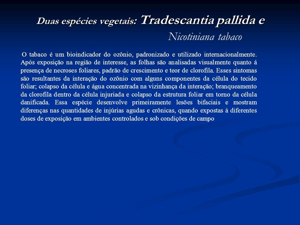 Duas espécies vegetais: Tradescantia pallida e Nicotiniana tabaco