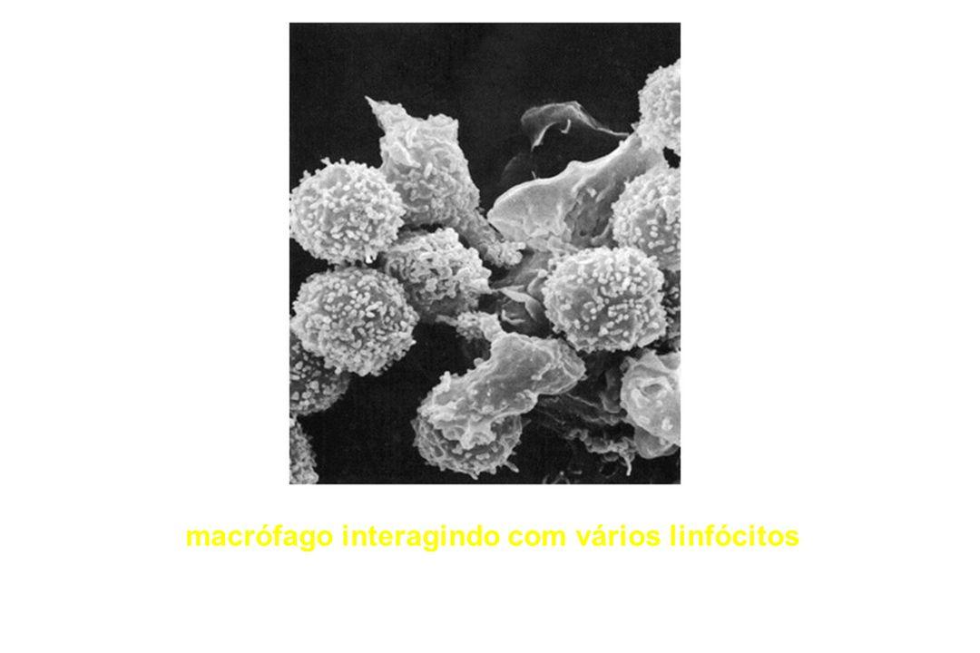 macrófago interagindo com vários linfócitos