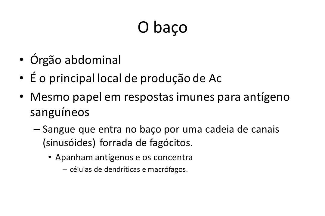 O baço Órgão abdominal É o principal local de produção de Ac