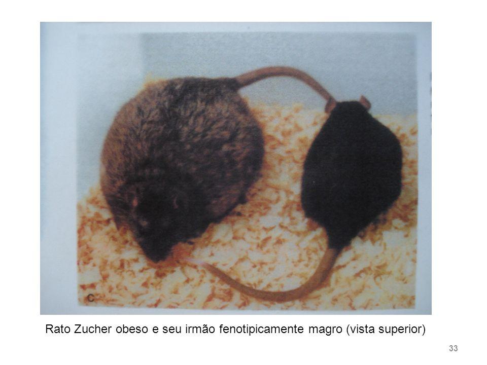 Rato Zucher obeso e seu irmão fenotipicamente magro (vista superior)