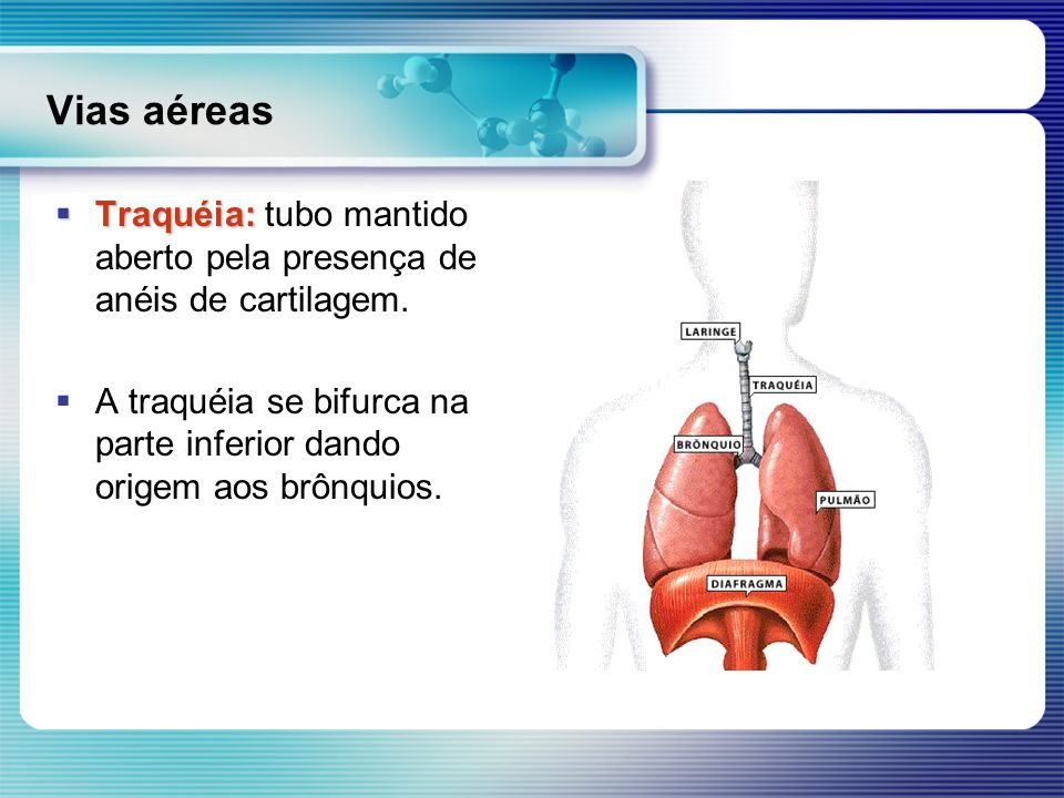 Vias aéreas Traquéia: tubo mantido aberto pela presença de anéis de cartilagem.