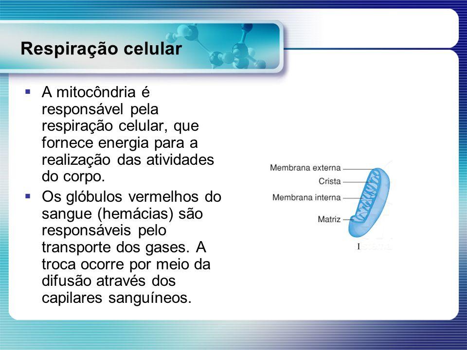 Respiração celular A mitocôndria é responsável pela respiração celular, que fornece energia para a realização das atividades do corpo.