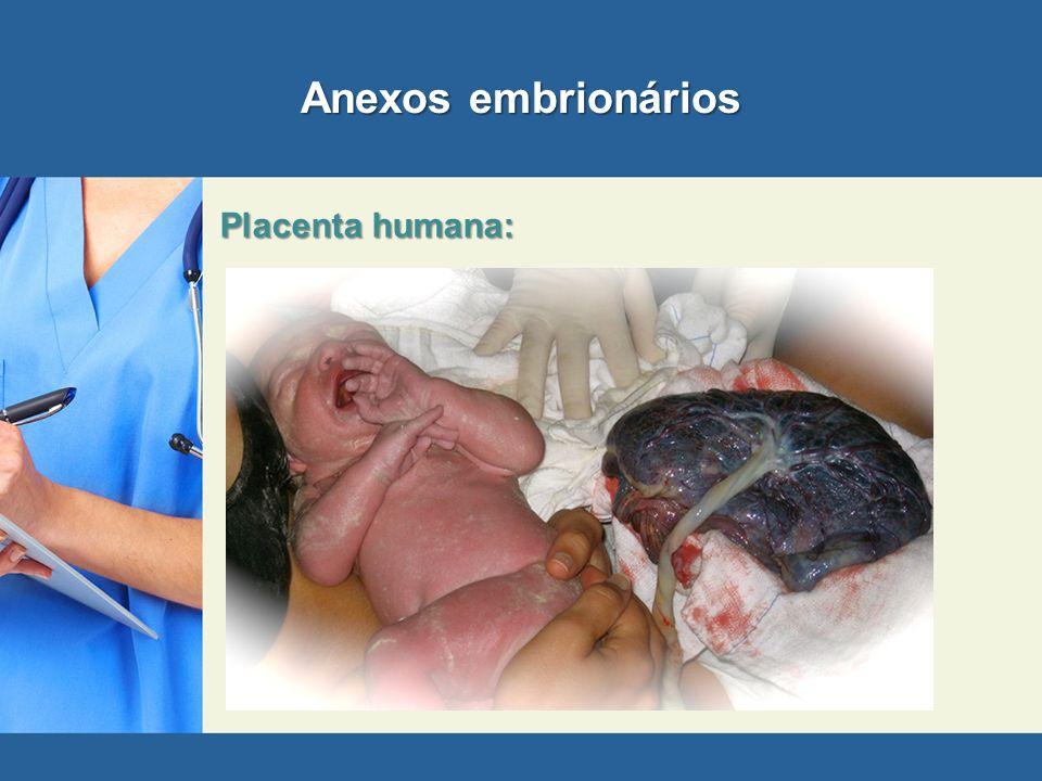 Anexos embrionários Placenta humana: