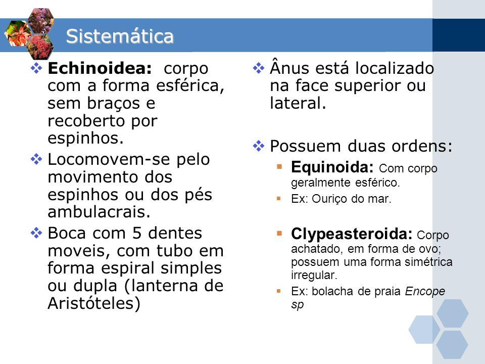 Sistemática Echinoidea: corpo com a forma esférica, sem braços e recoberto por espinhos.