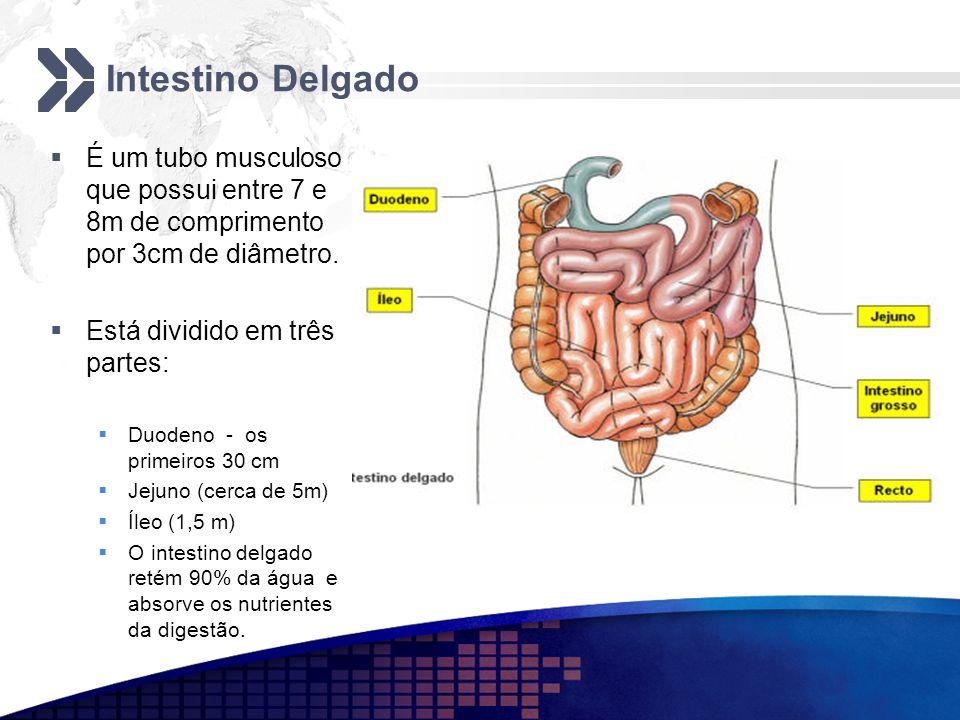 Intestino DelgadoÉ um tubo musculoso que possui entre 7 e 8m de comprimento por 3cm de diâmetro. Está dividido em três partes: