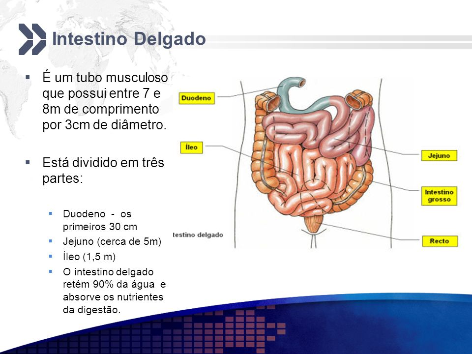 Intestino Delgado É um tubo musculoso que possui entre 7 e 8m de comprimento por 3cm de diâmetro. Está dividido em três partes: