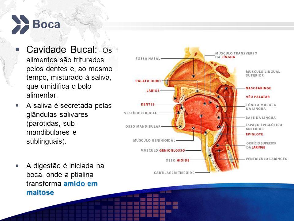 BocaCavidade Bucal: Os alimentos são triturados pelos dentes e, ao mesmo tempo, misturado à saliva, que umidifica o bolo alimentar.