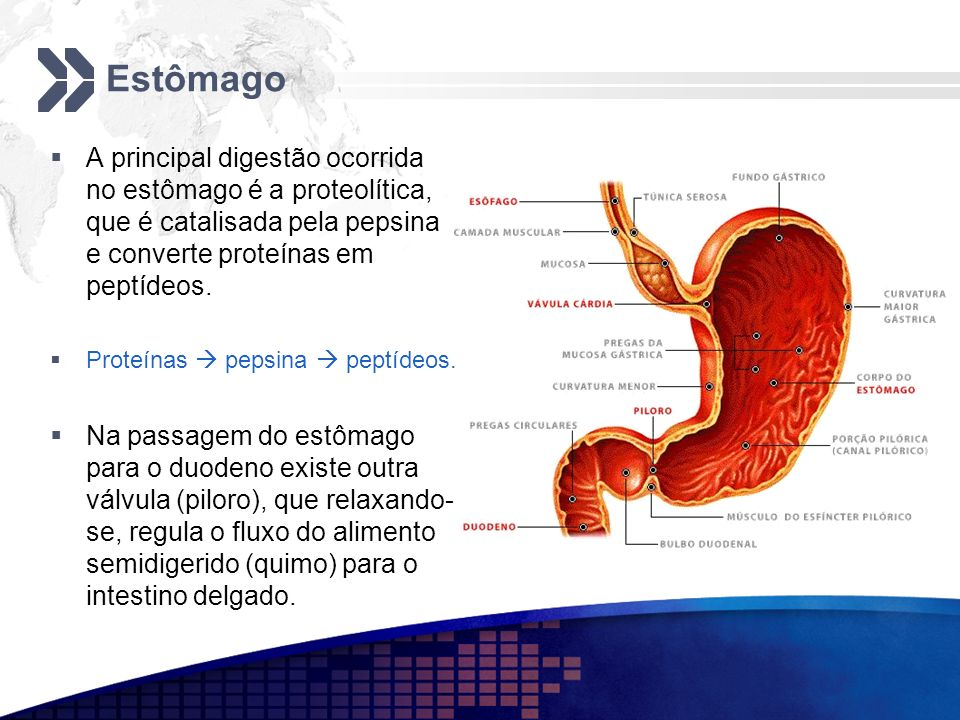 EstômagoA principal digestão ocorrida no estômago é a proteolítica, que é catalisada pela pepsina e converte proteínas em peptídeos.