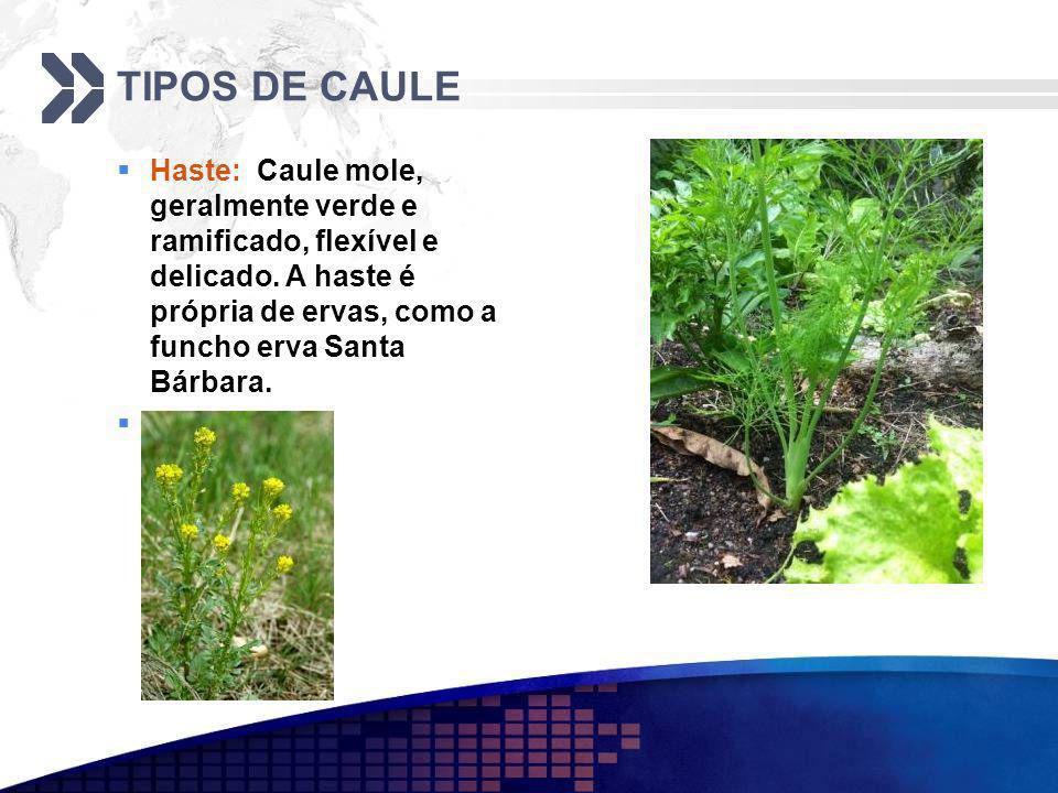 TIPOS DE CAULE Haste: Caule mole, geralmente verde e ramificado, flexível e delicado.