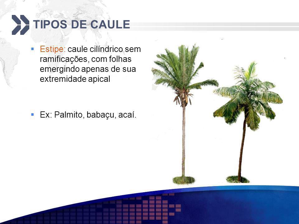 TIPOS DE CAULE Estipe: caule cilíndrico sem ramificações, com folhas emergindo apenas de sua extremidade apical.