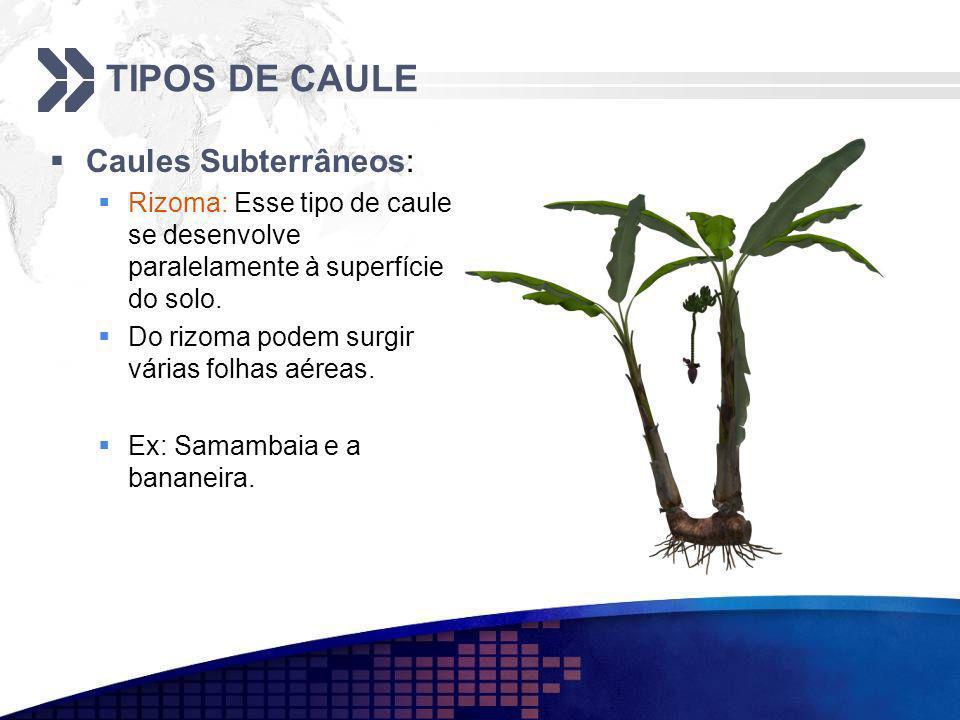 TIPOS DE CAULE Caules Subterrâneos: