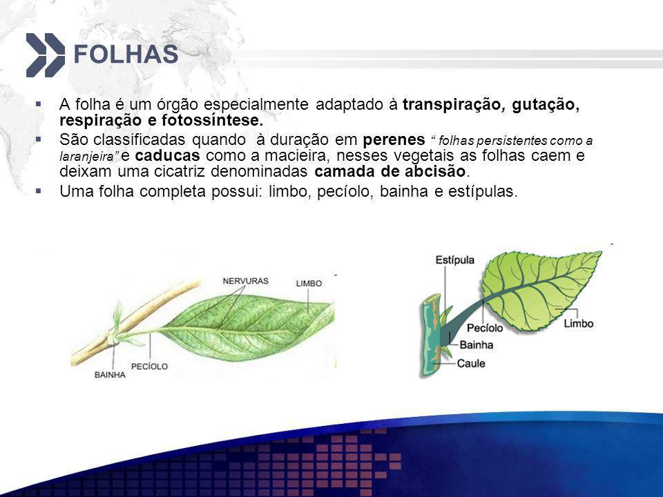 FOLHAS A folha é um órgão especialmente adaptado à transpiração, gutação, respiração e fotossíntese.