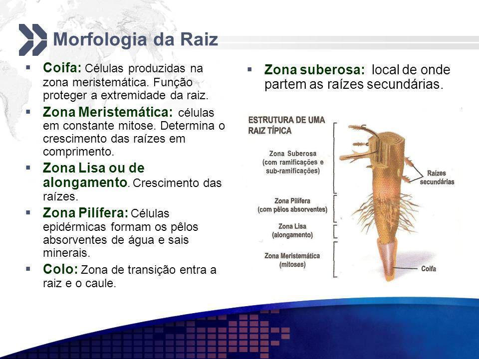 Morfologia da Raiz Coifa: Células produzidas na zona meristemática. Função proteger a extremidade da raiz.