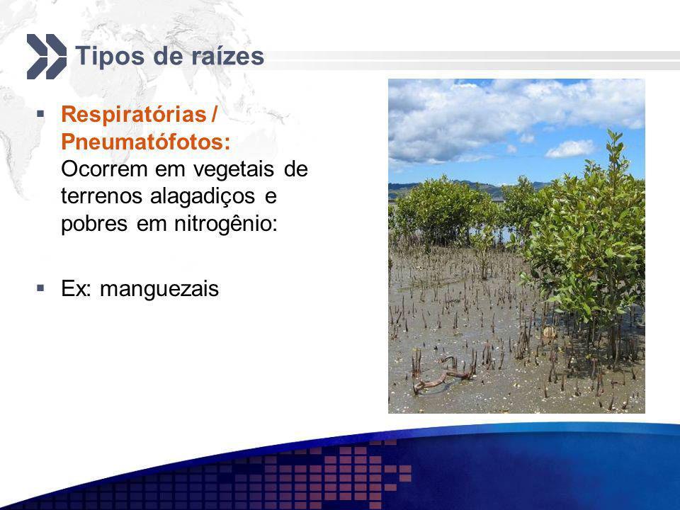 Tipos de raízes Respiratórias / Pneumatófotos: Ocorrem em vegetais de terrenos alagadiços e pobres em nitrogênio: