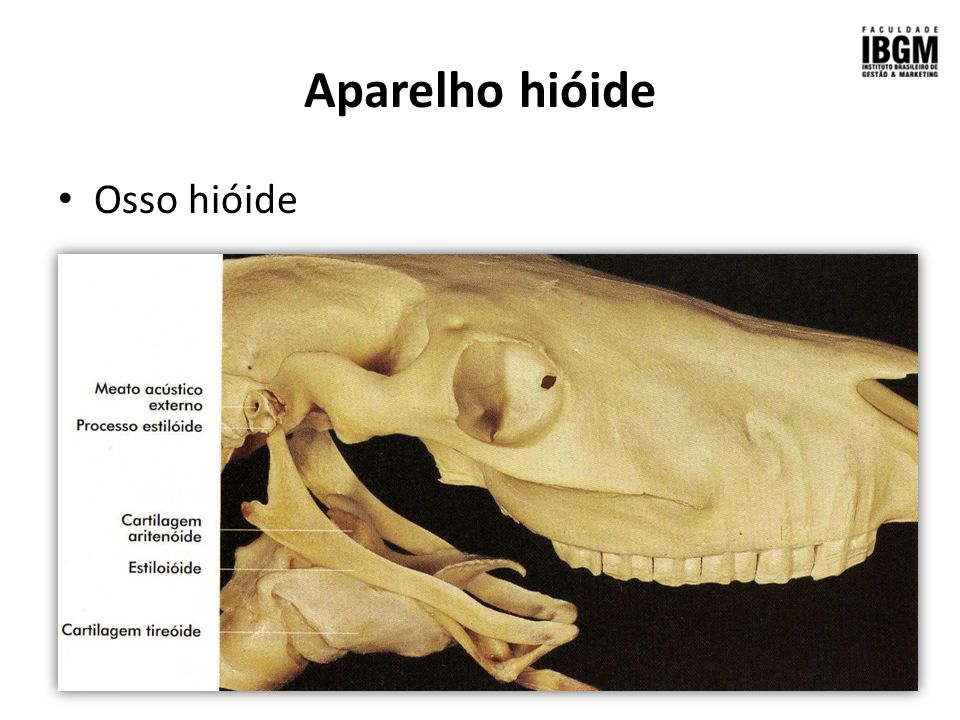 Crânio, Mandíbula Aparelho hióide - ppt video online carregar