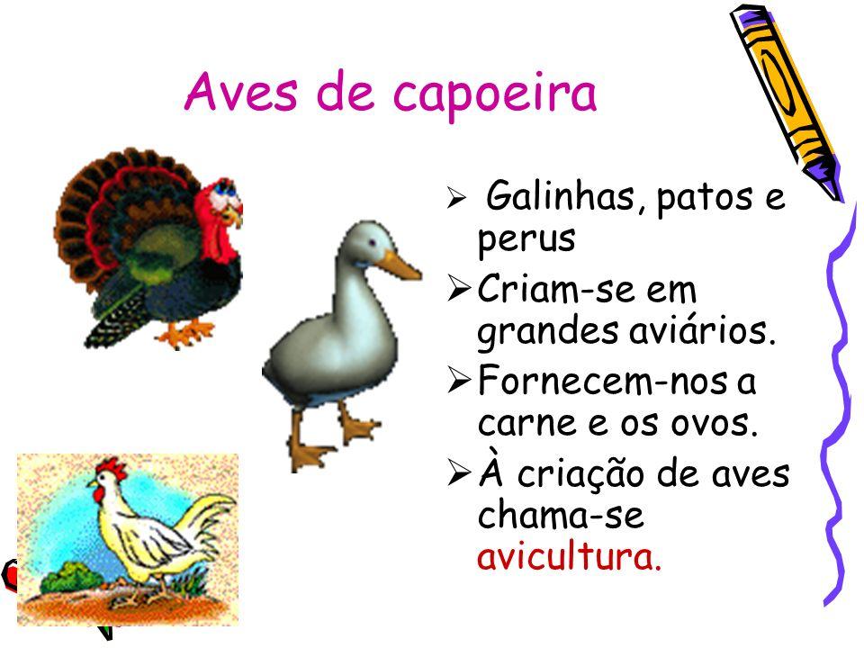 Aves de capoeira Criam-se em grandes aviários.