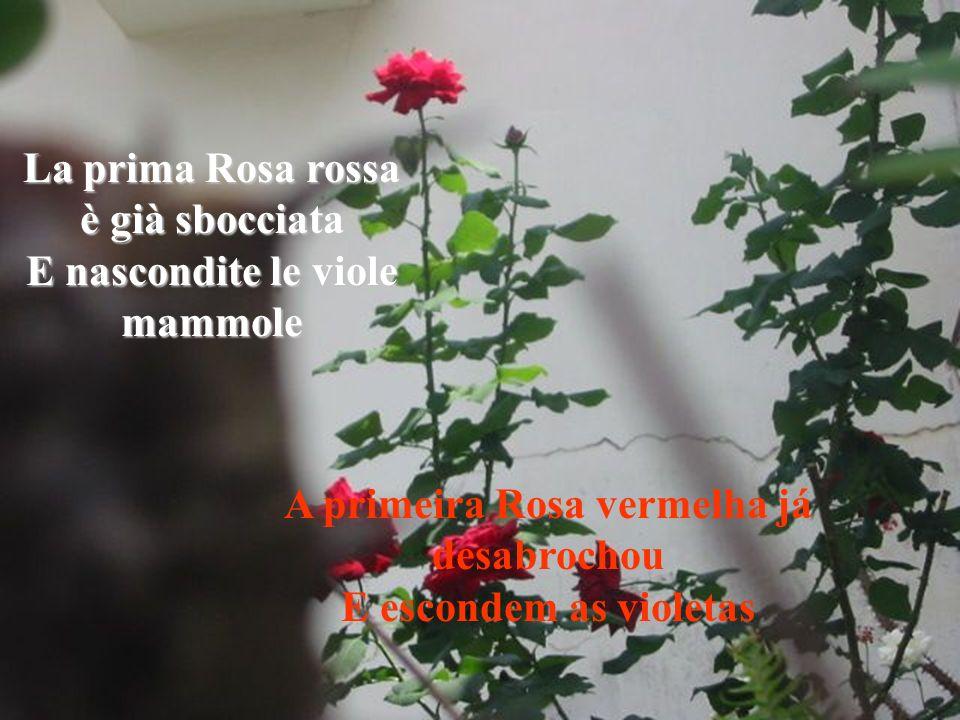 La prima Rosa rossa è già sbocciata E nascondite le viole mammole