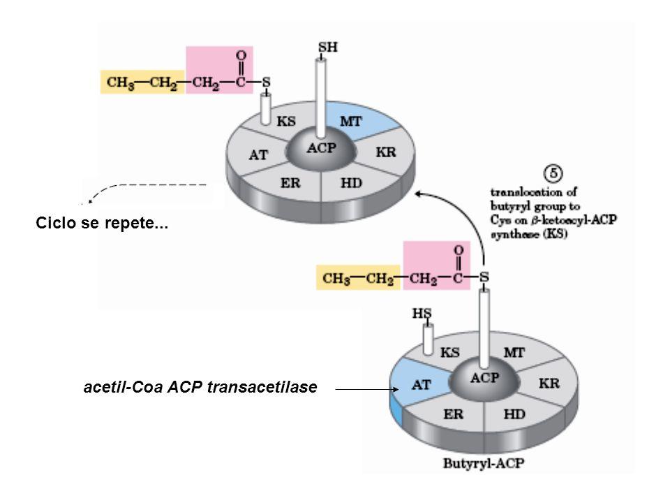 Ciclo se repete... acetil-Coa ACP transacetilase