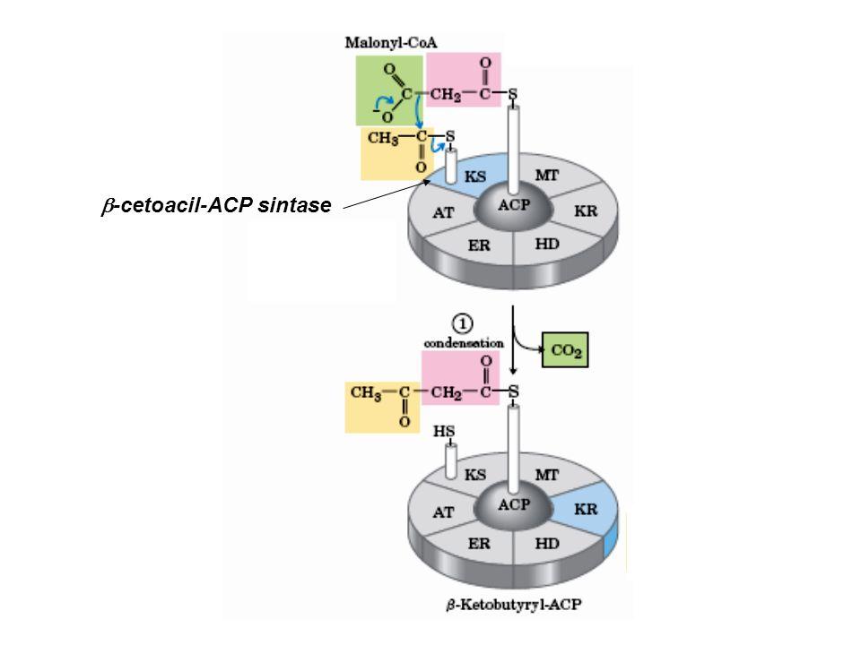 b-cetoacil-ACP sintase