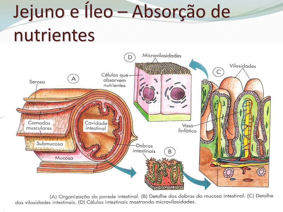 Jejuno e Íleo – Absorção de nutrientes